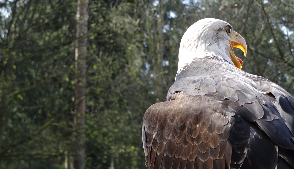 Bald Eagles, Usa, Raptor, Forest, Heraldic Animal