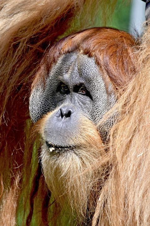 Orang Utan, Monkey, Ape Man, Ape, Forest Human