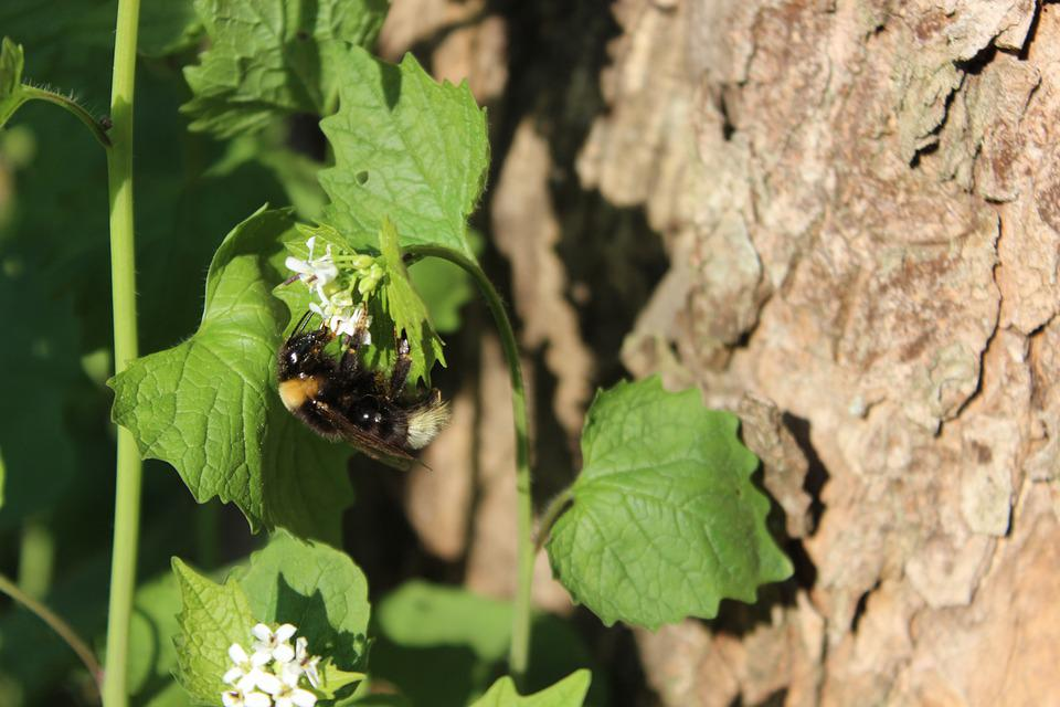 Hummel, Forest, Spring, Insect
