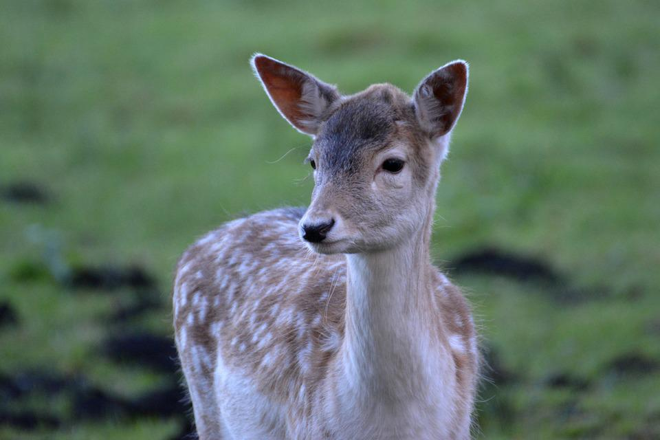 Fallow Deer, Roe Deer, Kitz, Forest, Wild, Animal