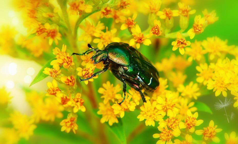 Kruszczyca Złotawka, The Beetle, Flower, Meadow, Forest