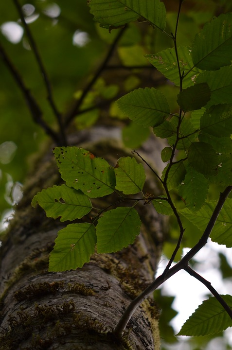 Tree, Forest, Leaf, Nature, Foliage