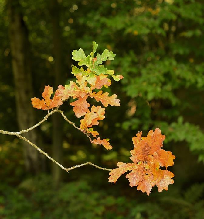 Oak, Leaf, Autumn, Oak Leaves, Green, Nature, Forest