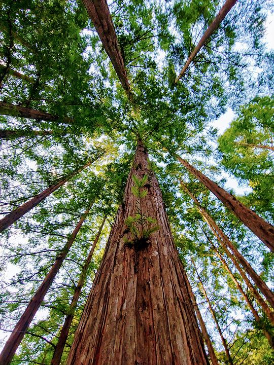 Zhang Taishan, Meta Sequoia, Wood, Forest, Life