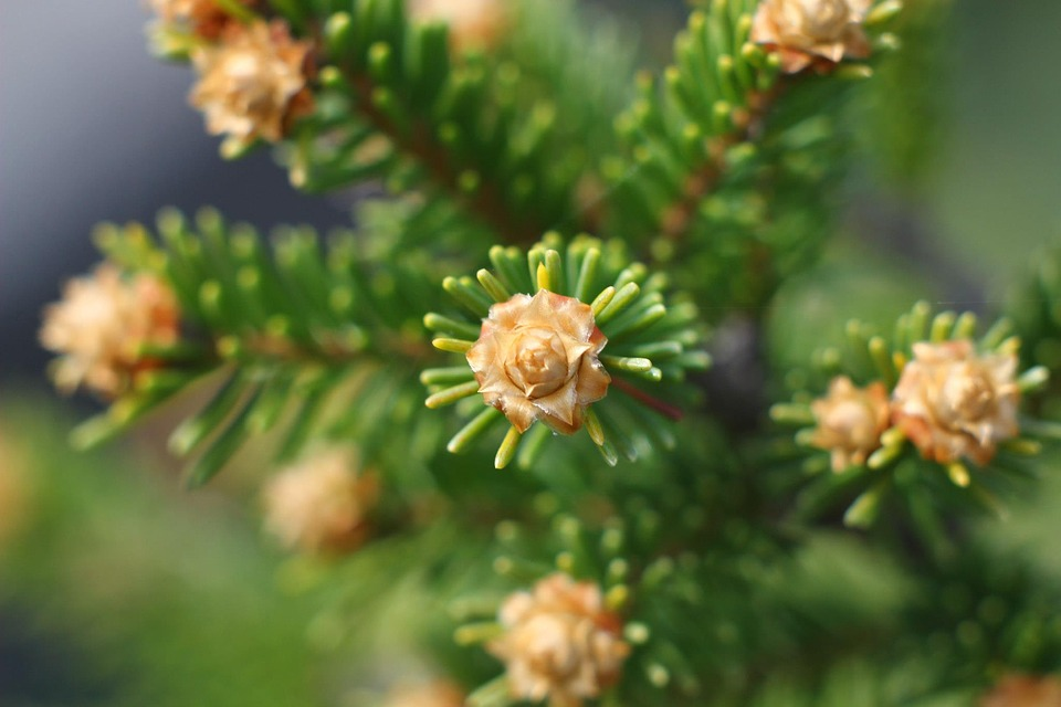 Macro, Spruce, Needles, Forest, Park, Branch, Closeup