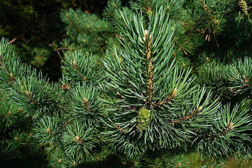 Pine, Needles, Macro, Cone, Unripe, Branch, Forest