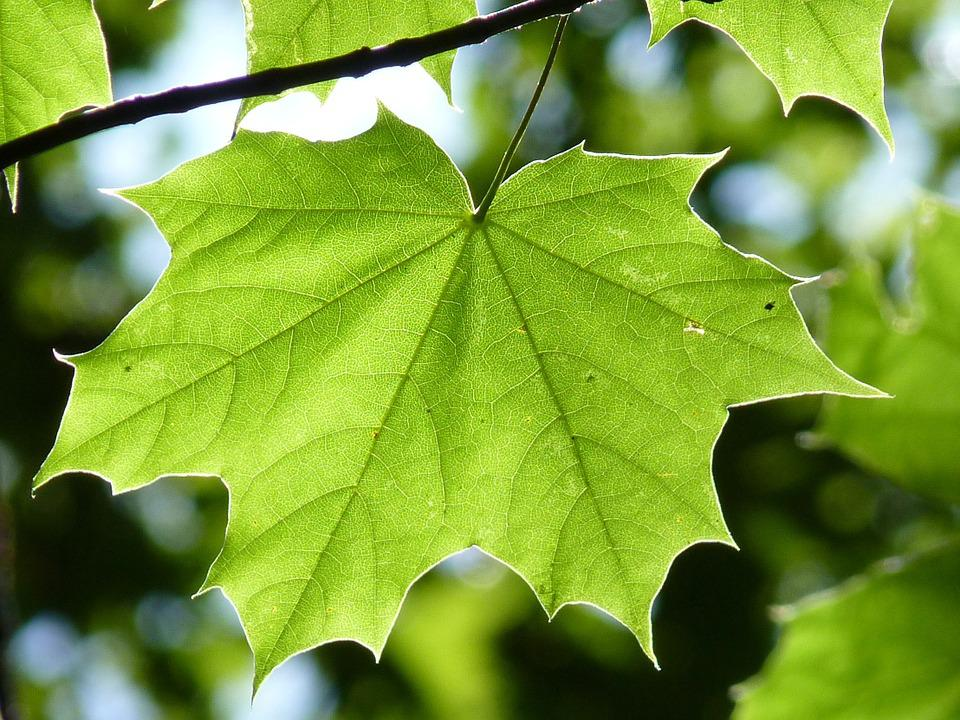 Maple Leaf, Green, Maple, Leaf, Tree, Forest, Nature
