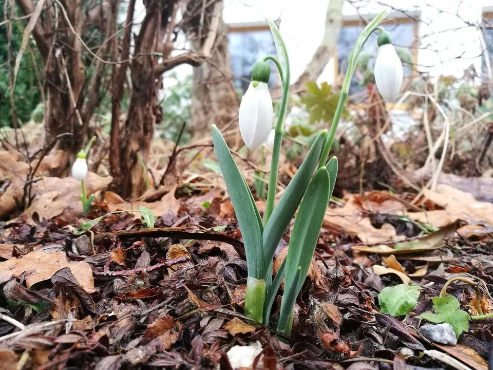 Forest, March 8, Spring, Vegetable Garden, Snowdrop