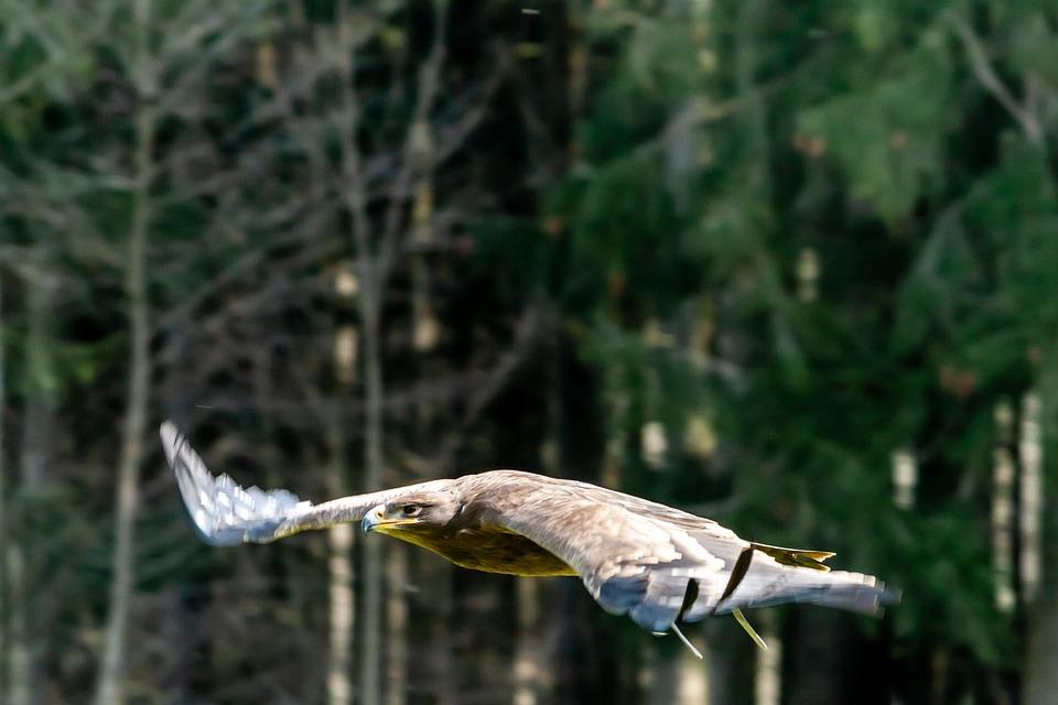 Adler, Nature, Bird, Green, Forest, Bird Of Prey