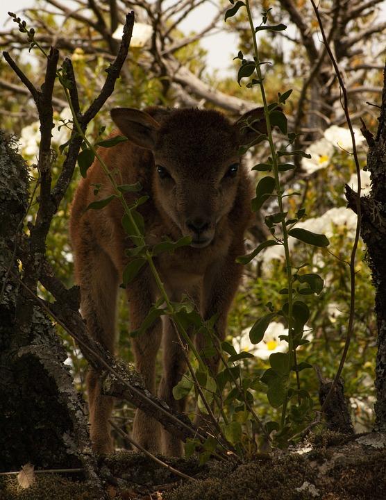 Mouflon, Nature, Animals, Mammal, Horns, Forest