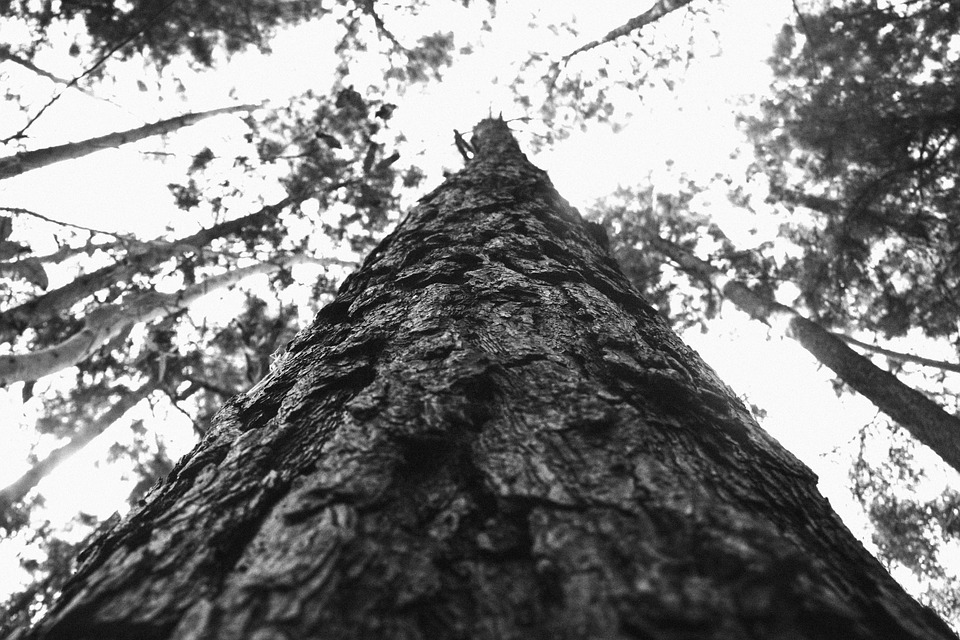 Trees, Bark, Forest, Woods, Nature, Black And White