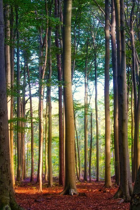 Trees, Beech, Forest, Leaves, Mysterious, Nature