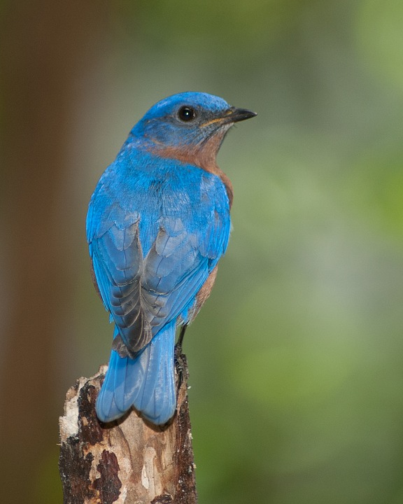 Bird, Nature, Outdoors, Ornithology, Forest, Blue Bird