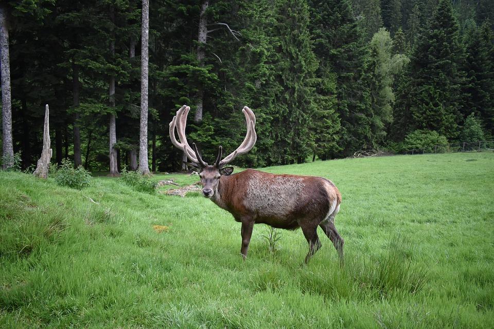 Red Deer, Black Forest, Forest, Nature
