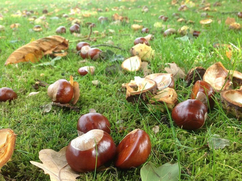 Chestnuts, Autumn, Garden, Forest, Nature