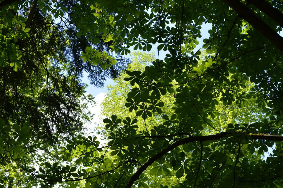Canopy, Leaves, Trees, Nature, Forest, Glade