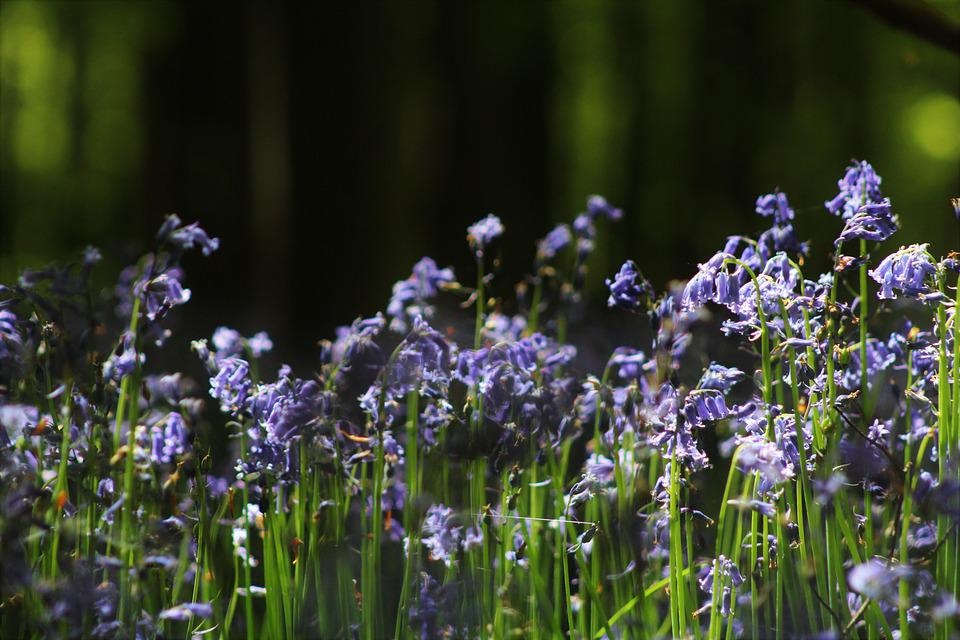 Flowers, Forest, Flower, Plant, Hyacinth, Nature