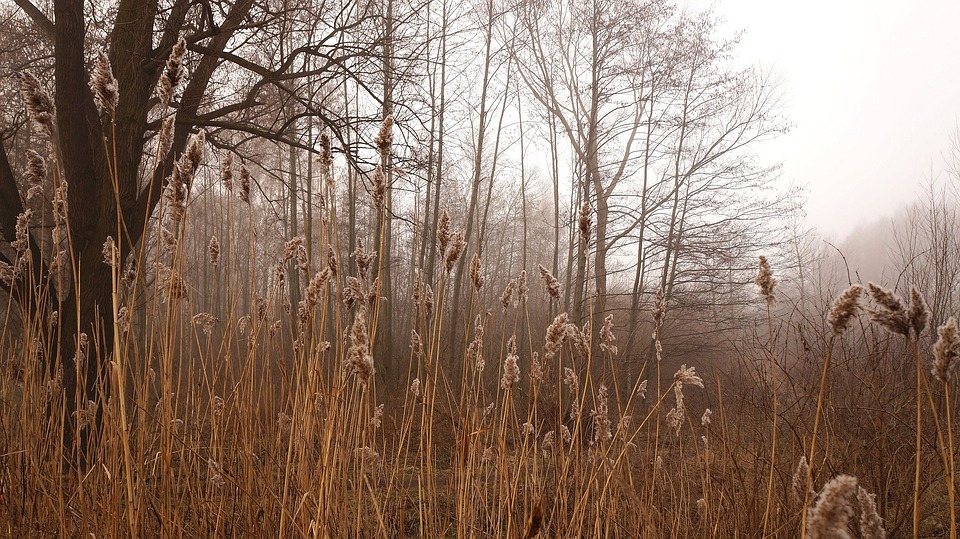 Landscape, Nature, Plants, Forest, Tree, Reeds, The Fog
