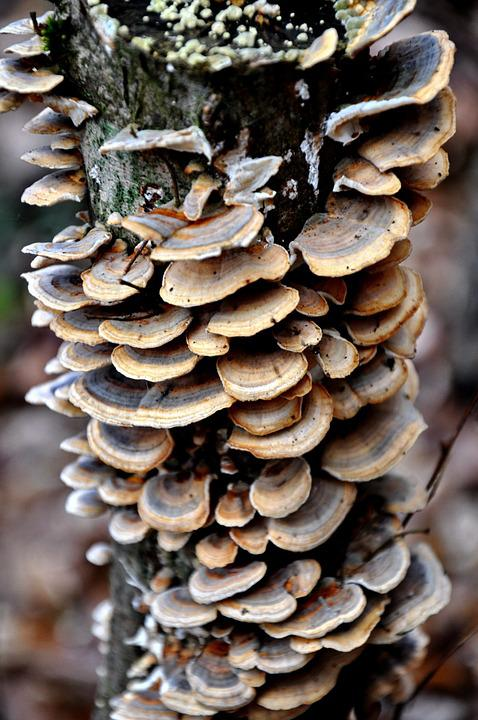 Tinder Fungus, Forest, Nature