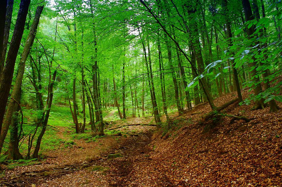 Forest, Nature, Trees, Earth, Leaves, Green