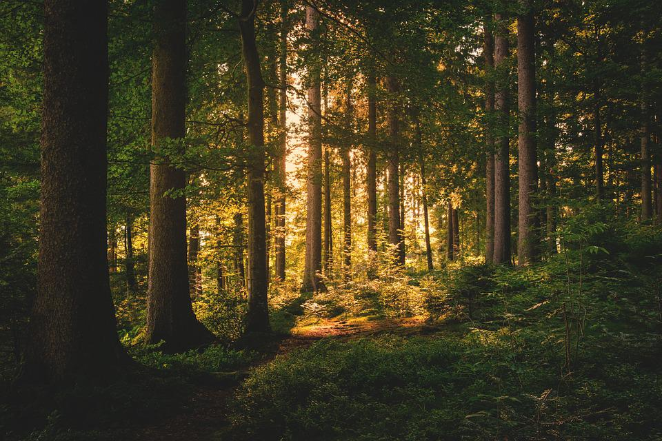 Forest, Trees, Nature, Abendstimmung, Lichtspiel