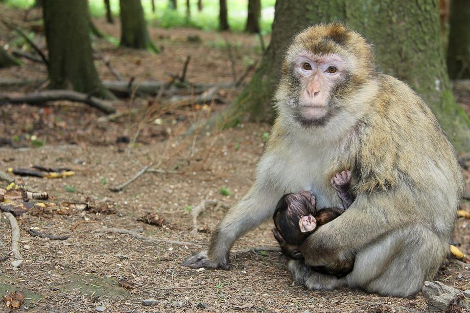 Monkey, Forest, Gibbon, Nature, äffchen, Animal World