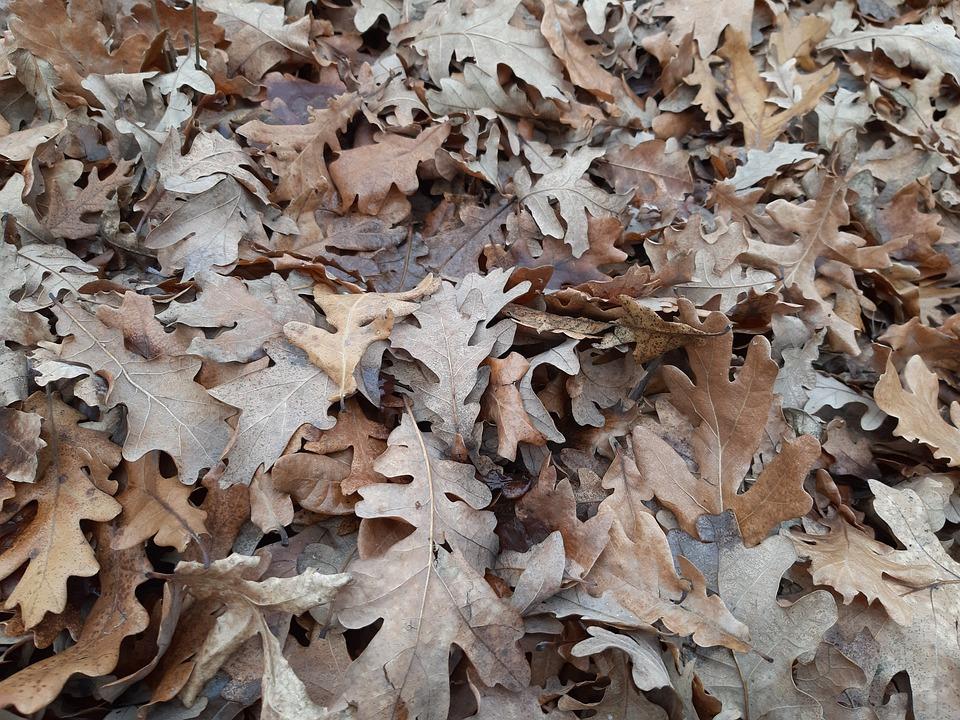 Leaf, Forest, Oak, Autumn