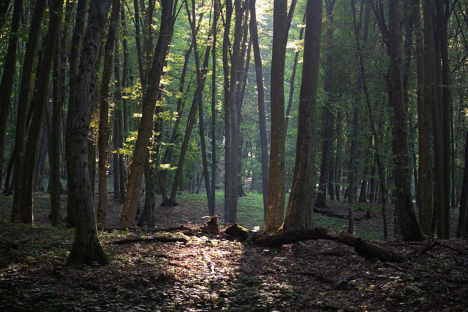 Forest, Trees, Nature, Landscape, Sunlight, Outdoor