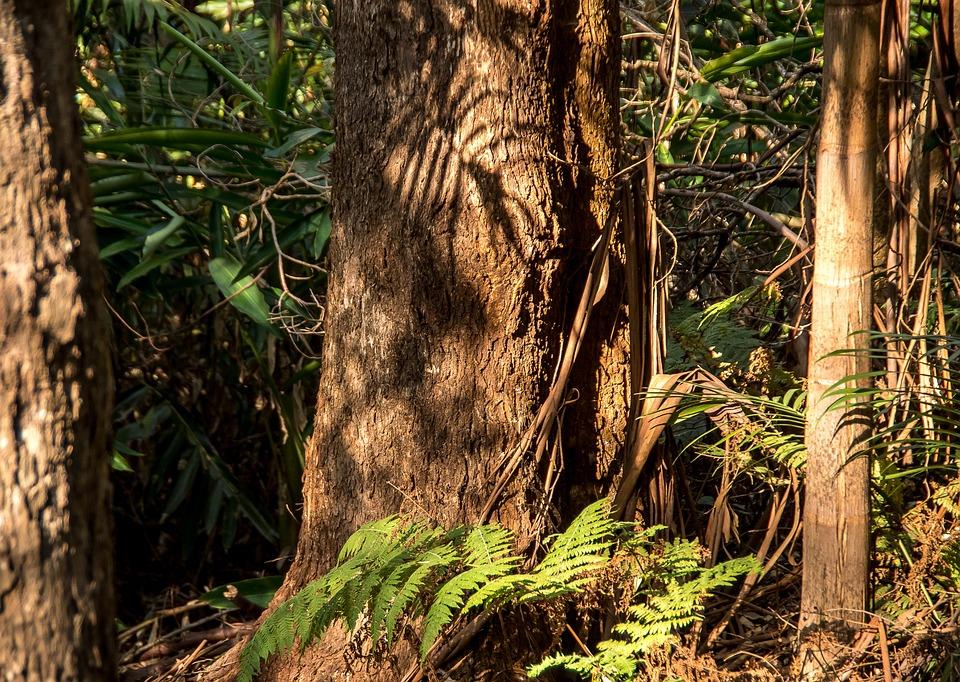 Rain Forest, Forest, Gum Trees, Eucalypts, Palms, Ferns