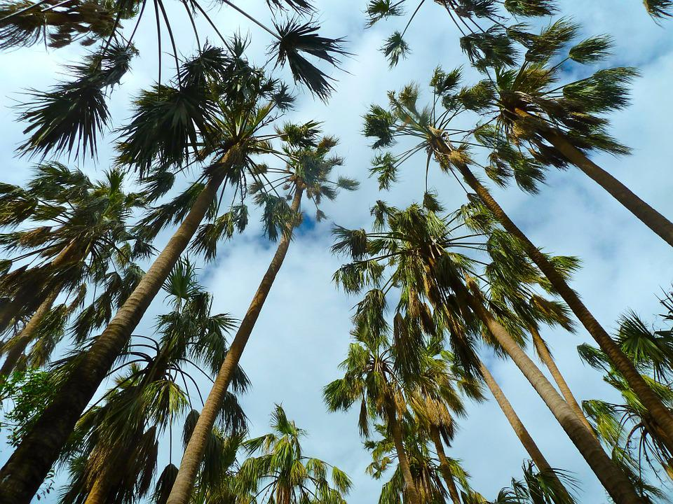 Palms, Trees, Sky, Forest, Plant