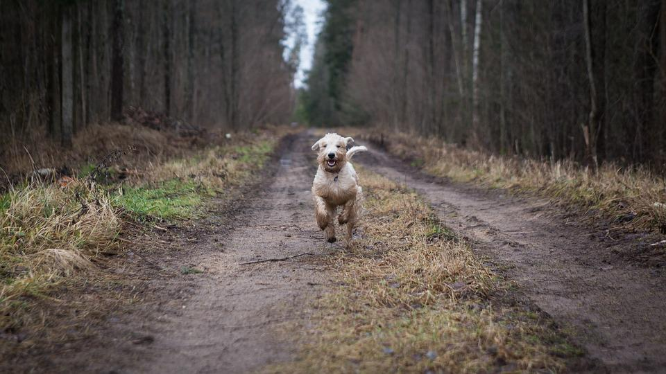 Animal, Dog, Forest, Nature, Wood, Outdoors, Road, Pet