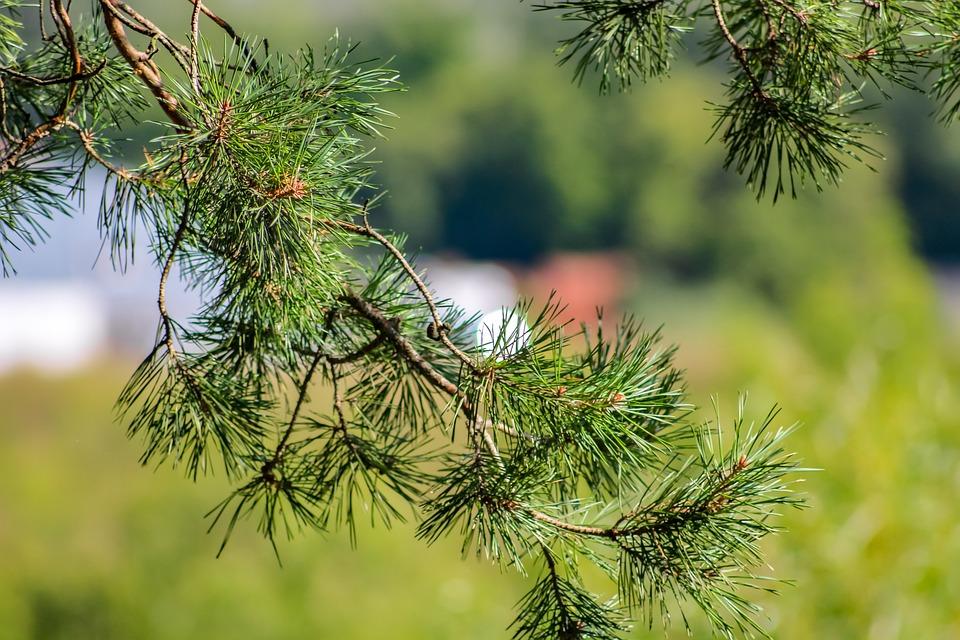 Needles, Forest, Background, Pine, Summer, Closeup