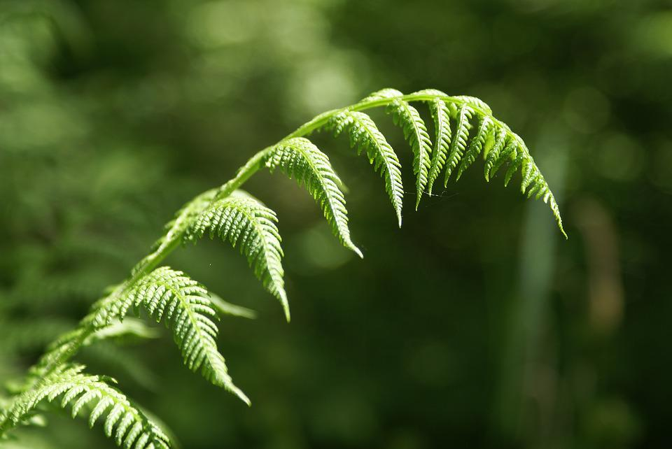 Fern, Forest, Green, Plant, Nature, Leaf, Leaf Fern