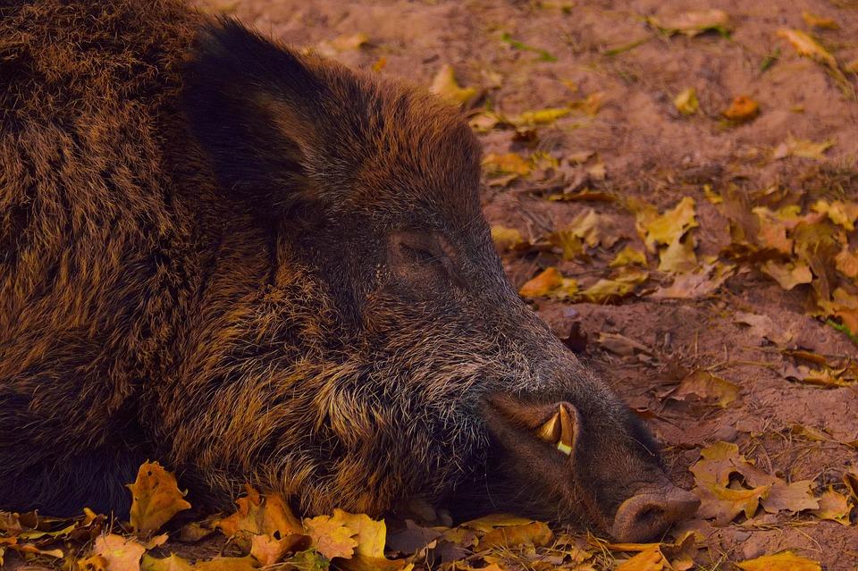 Wild Boar, Head, Portrait, Forest, Creature, Boar