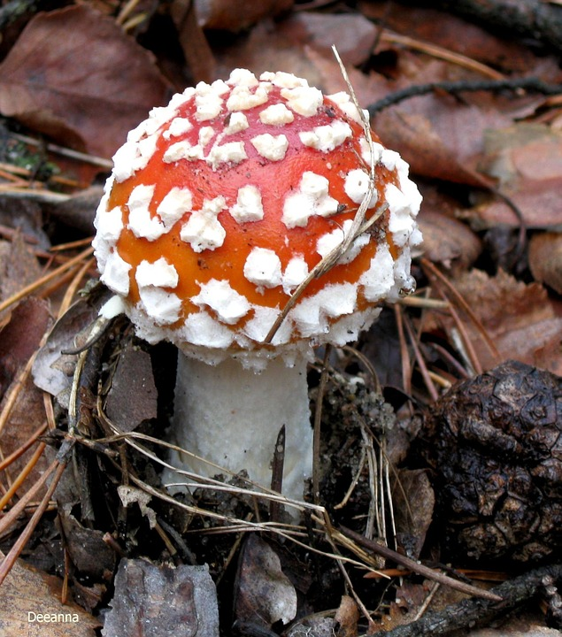 Fly Agaric Red, Amanita, Forest, Red