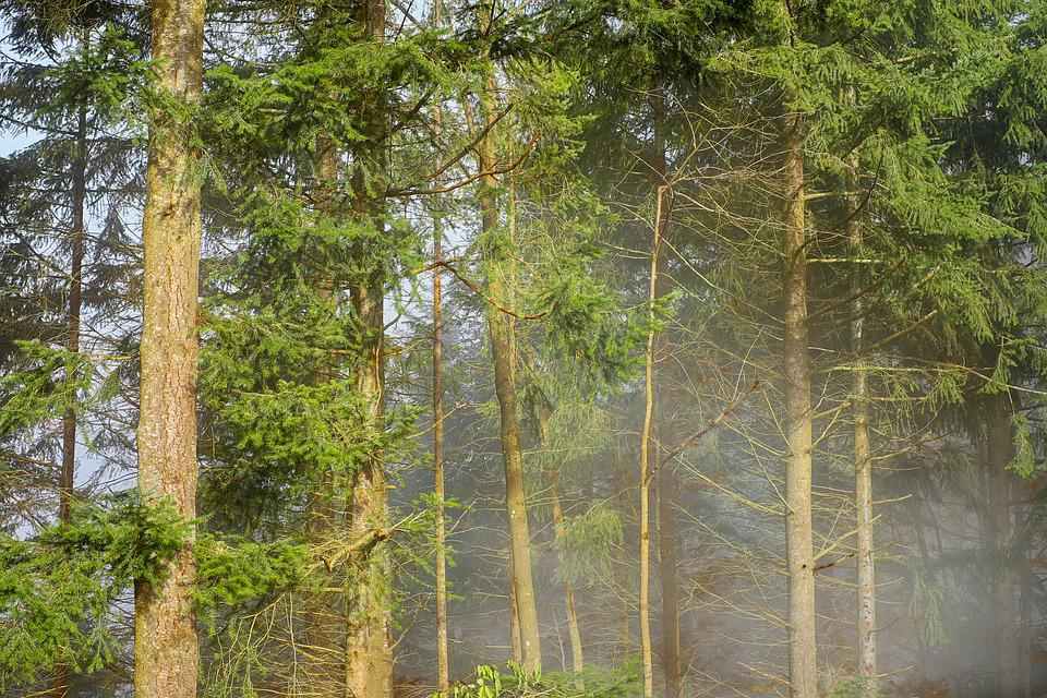 Forest, Fir Forest, Rising Fog, Steam, Mysterious