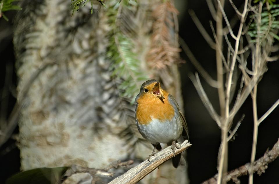 Robin, Bird, Songbird, Small Bird, Garden Bird, Forest