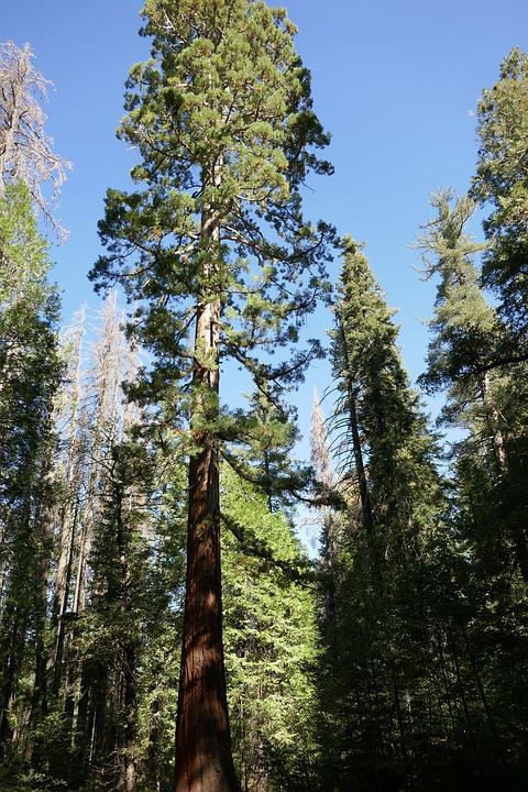 Sequoia, Tree, Forest, Wood, Huge, Nature, Green, Pine