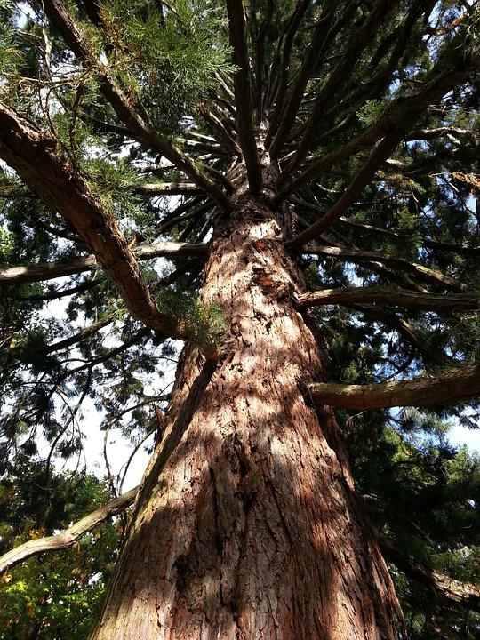 Sequoia, Tree, Branches, Trunk, Forest