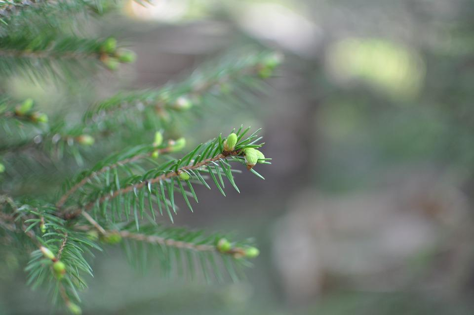 Spruce, Spruce Shoots, Plant, Green, Tree, Forest, Efi