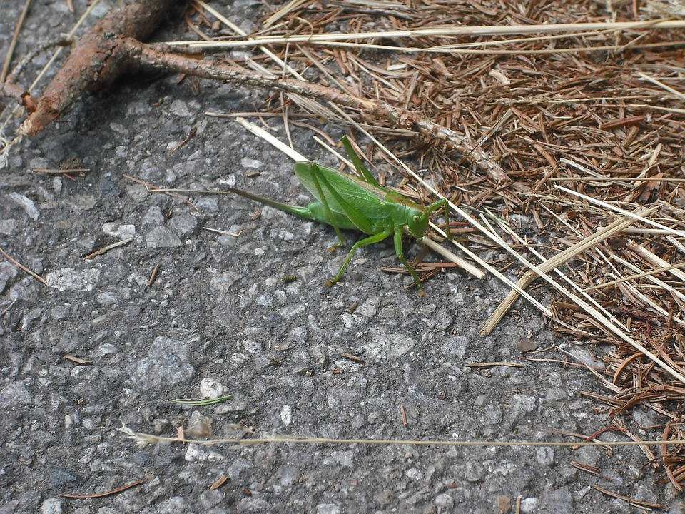 Grasshopper, Forest, Needles, Macro, Stick