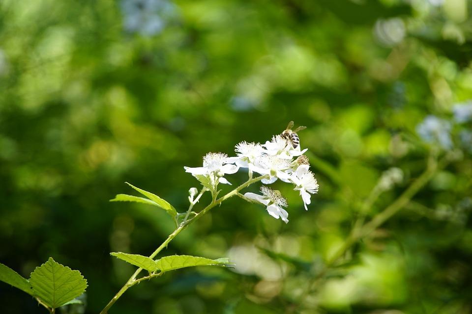 Blackberry, Flowers, Forest, Blackberries, Summer