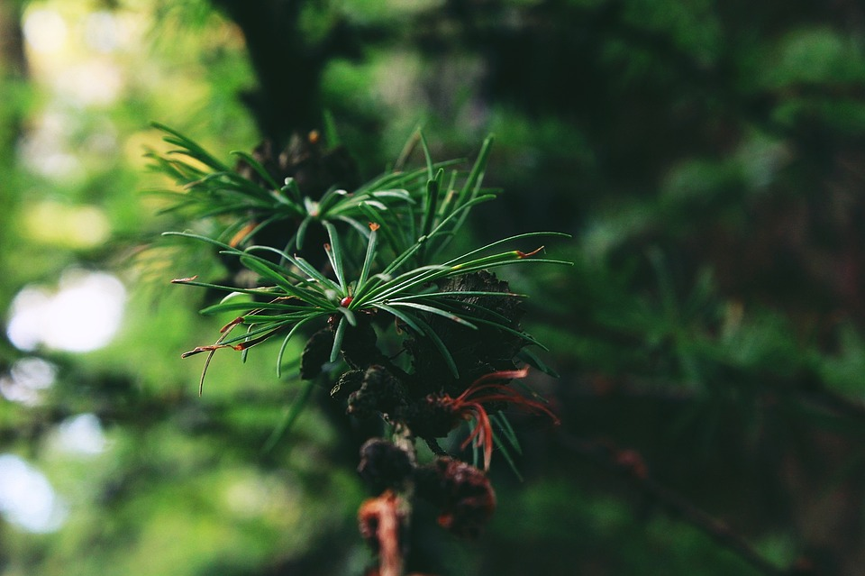 Tree, Tap, Forest, Conifer, Nature, Green, Plant
