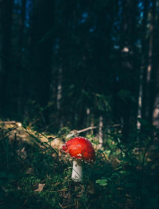 Forest, Fungus, Grass, Mushroom, Toadstool, Trees