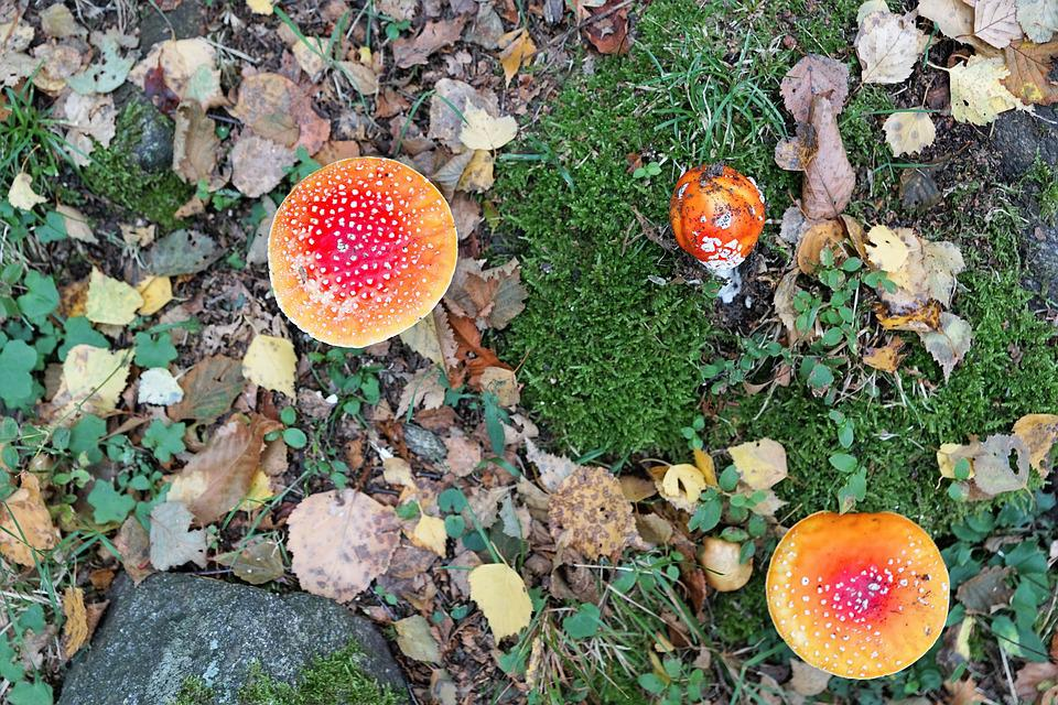 Fly Agaric, Gift, Toxic, Mushroom, Red, Autumn, Forest