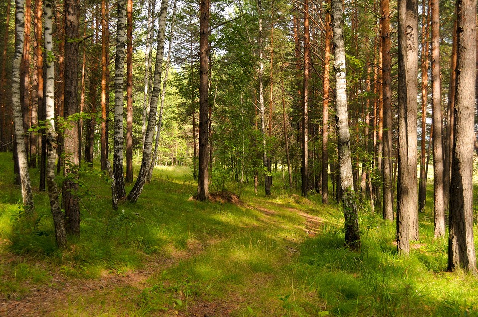 Forest, Pine Trees, Trail, Road, Summer, Wild, Travel