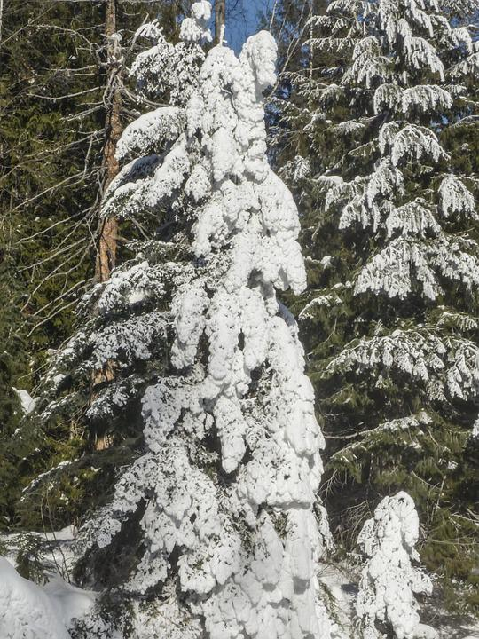 Snow, Tree, Fir, Ice, Winter, Forest, Cold, Frost