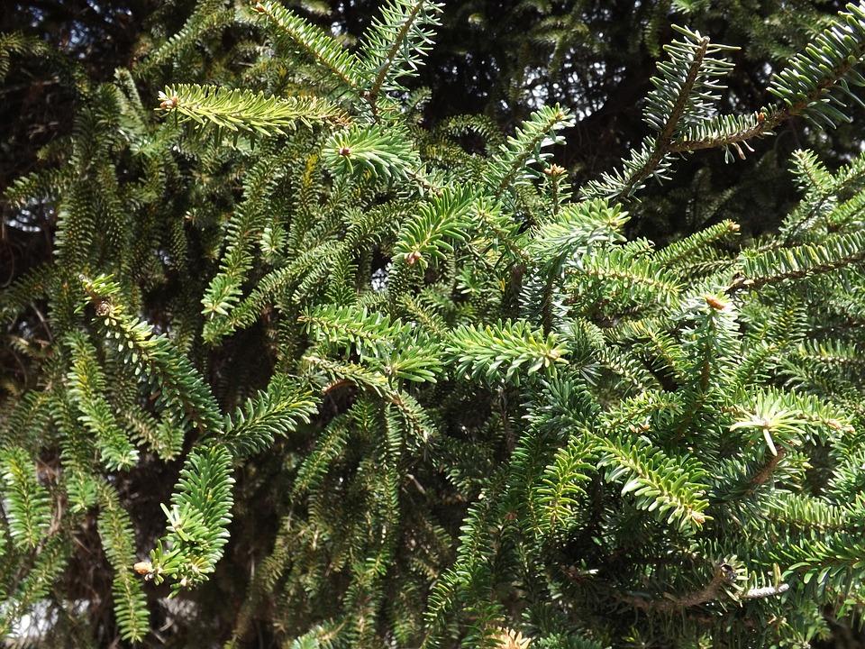 Abies Pinsaro, Spanish Fir, Tree, Forest, Green