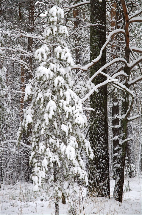 Winter, Forest, Snow, Pine, Trees, Nature