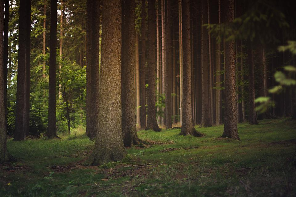 Forest, Tree Trunks, Trees, Woods